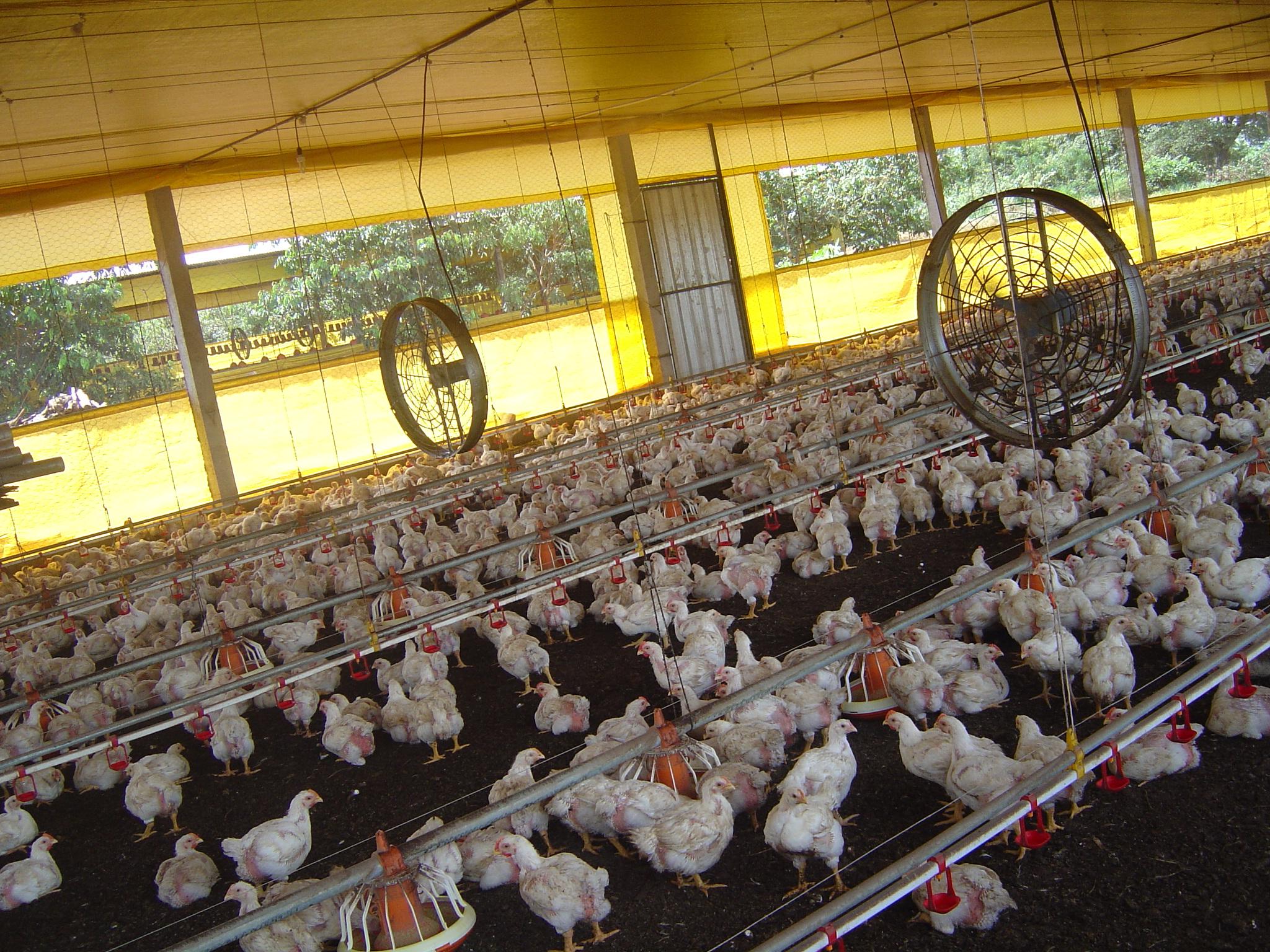 AveSui 2013 debate temas vitais para a produção avícola