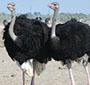 Criadores que investiram em avestruz tentam recuperar o prejuízo