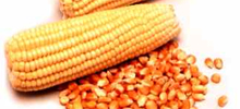 Alta no preço do milho afeta o custo do frango resfriado, que já subiu 11% nos supermercados