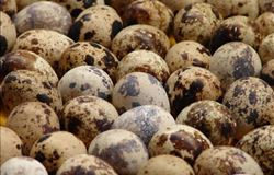 Determinação e simulação de perdas do milho para produção de ovos de codorna - por Roberto Bordin