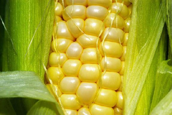 Potencial do milho precisa virar realidade no Brasil