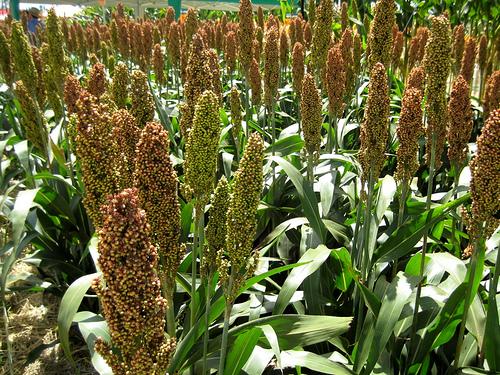 ERB fecha parceria com Embrapa em pesquisa de biomassa de sorgo