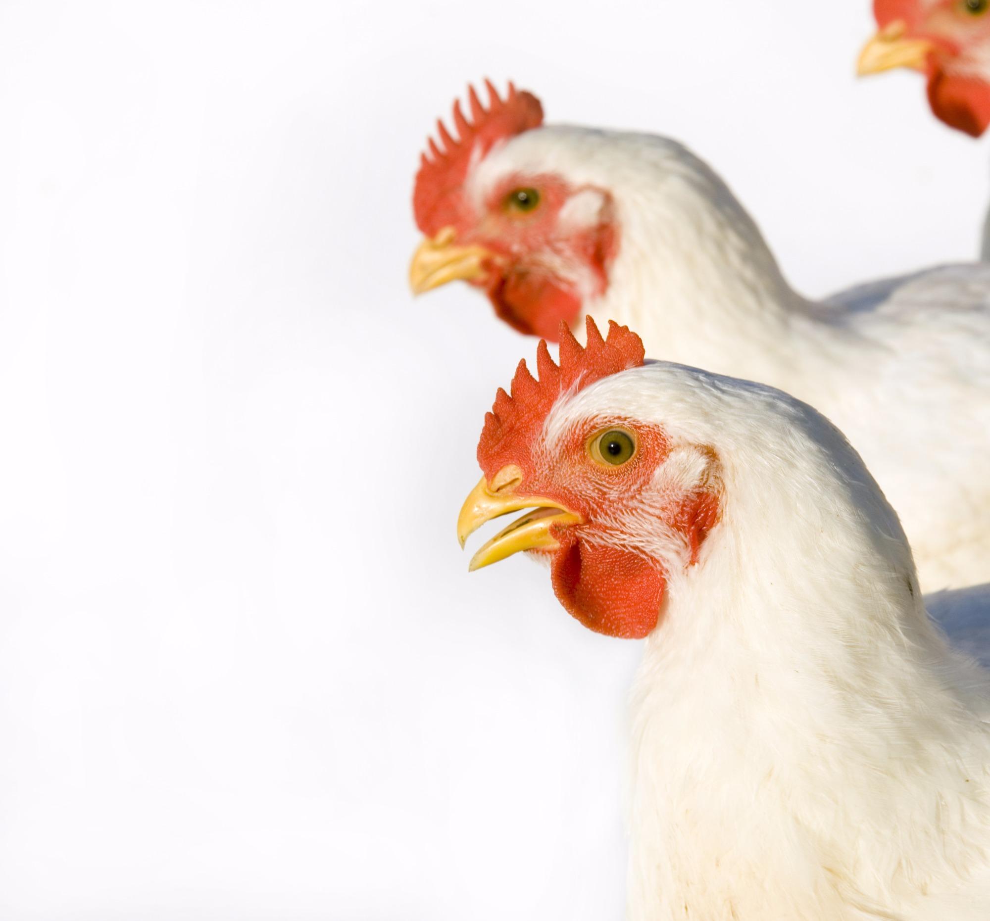 Exportações de carne de frango driblam crise e crescem em 2016