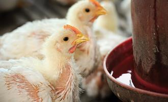 Casos de laringotraqueíte em granjas de frango são monitorados pelo Indea