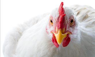 Como será a produção de aves no futuro?