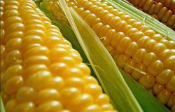 Com exportações enfraquecidas e maior oferta, preços do milho caem em novembro
