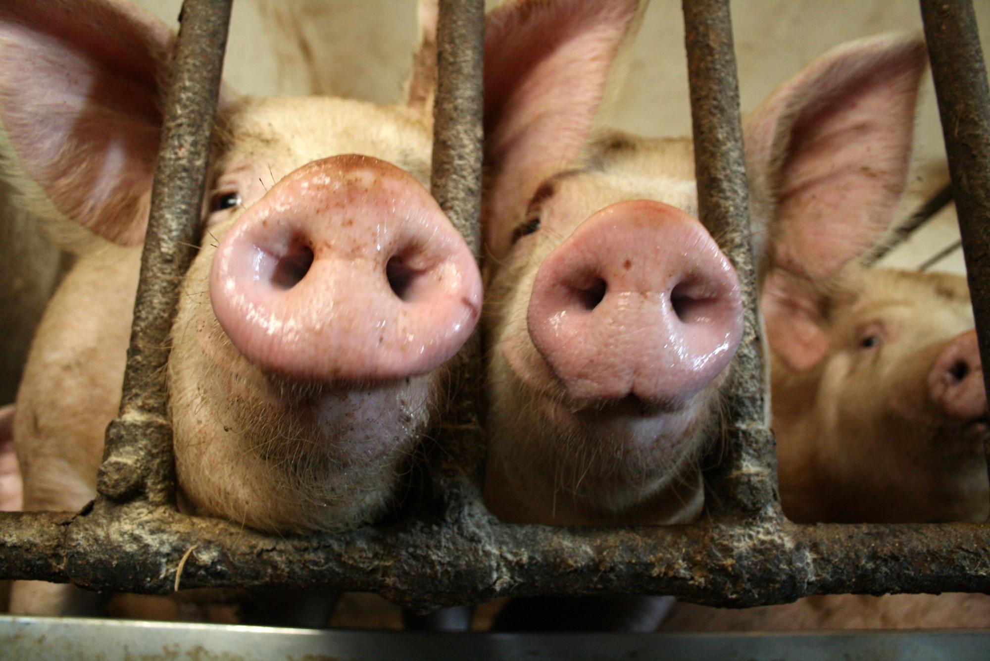 FAO eleva para 3,338 milhões número de suínos descartados devido a PSA