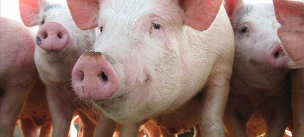 Preços do suíno vivo e da carne seguem em alta no País