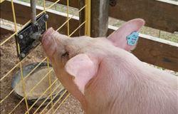 Abate de suínos sobe 1,9% na comparação anual e tem junho recorde