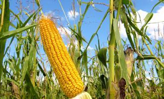 Preços do milho recuam em algumas regiões