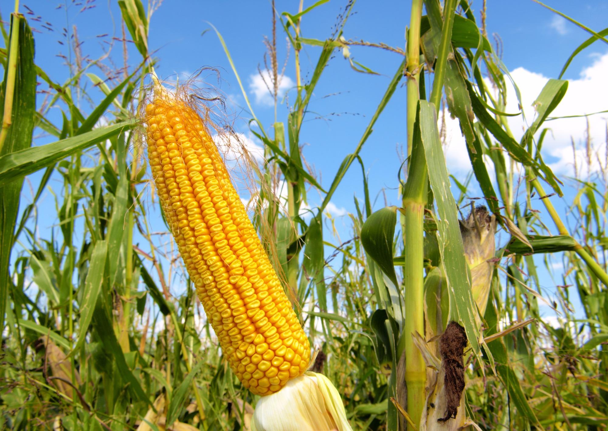 Preços do milho recuam na segunda semana de julho