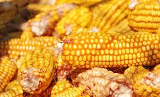 Conab fiscaliza venda em balcão de milho no Norte-Nordeste