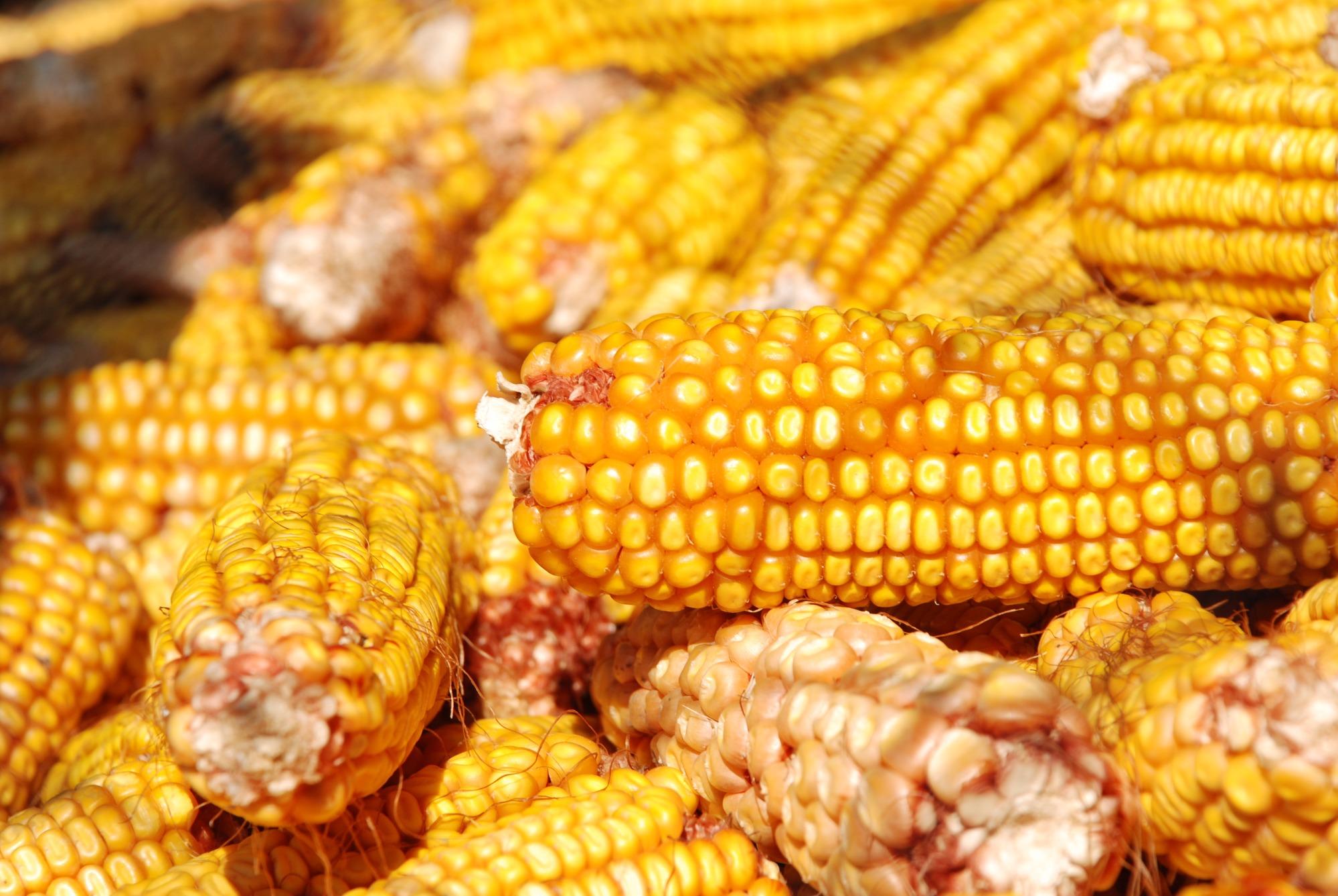 Queda na produção e aumento no preço do milho em 2018