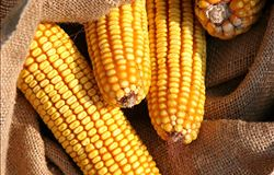 Exportação de milho do Mato Grosso cresce 69% em julho e agosto ante 2016
