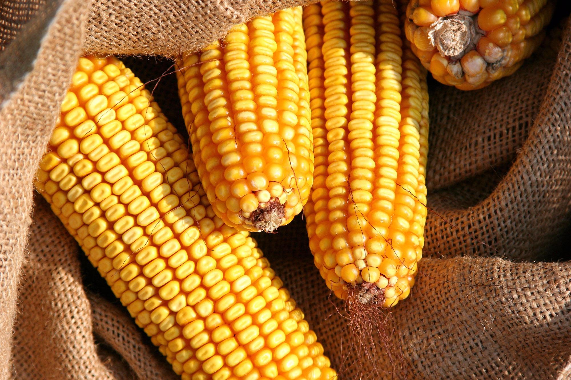 Retração vendedora e baixa liquidez sustentam altas do milho, aponta Cepea