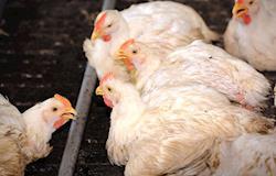 Causas infecciosas das lesões articulares em aves - por Eva Hunka