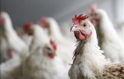 Avicultura do nordeste promove atualização científica para o setor