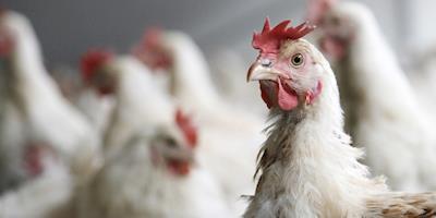 Avicultura, avicultura, fotos atualizadas