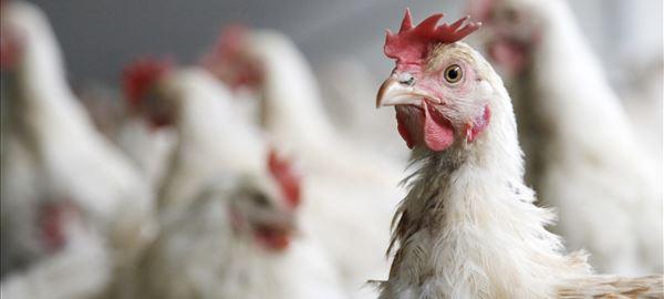 Hong Kong suspense importações de frango dos EUA, México e França