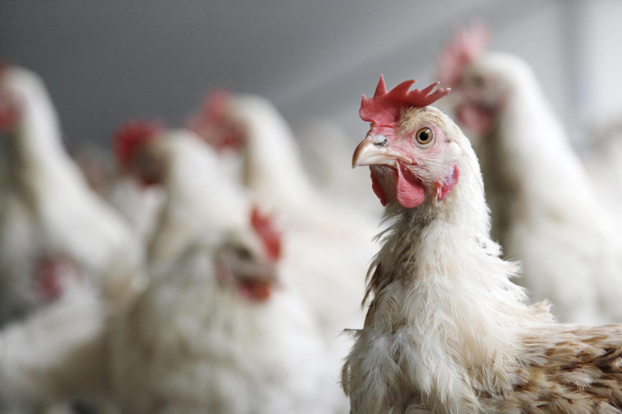 Preços do frango continuam em queda em São Paulo