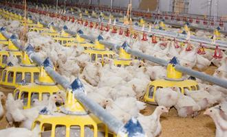 Alto custo de insumo limita bons resultados do frango em 2019