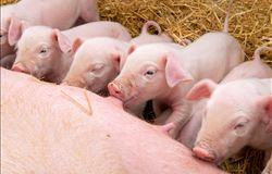 Estudo mostra que hidroxi-microminerais podem melhorar palatabilidade de dietas para leitões