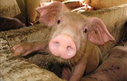 Preços futuros da carne suína continuam a subir