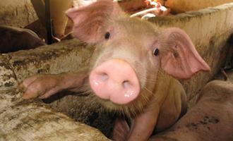 Futuros dos suínos recuam devido à demanda instável nos EUA