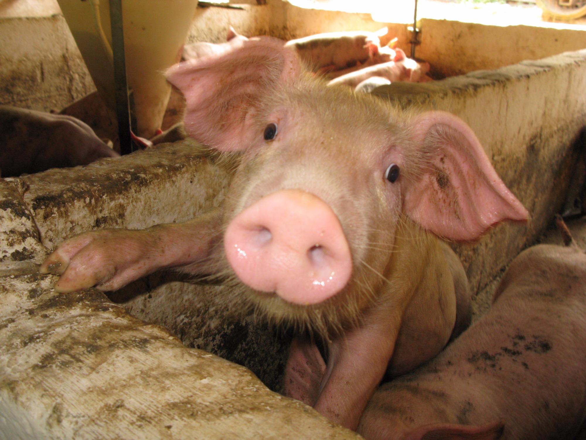 Efeitos da fitase na melhoria de aspectos reprodutivos de suínos