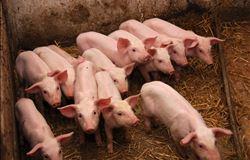 Custos de produção de suínos têm aumento em agosto