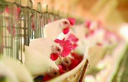 Tifo aviário: importância do diagnóstico laboratorial