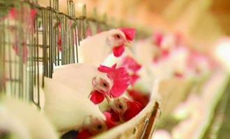 Avicultores indianos sofrem perdas por falta de insumos