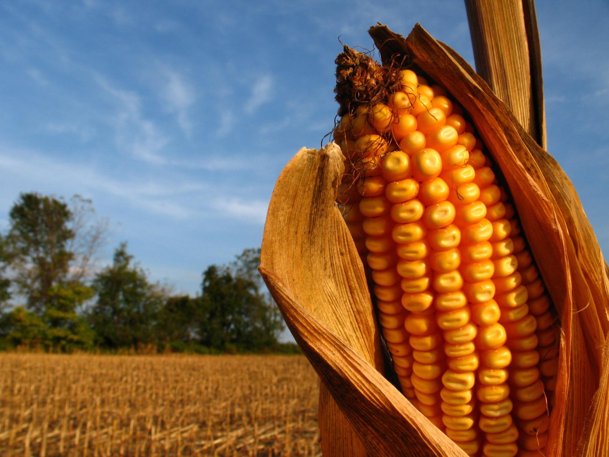 Excedentes internos de milho devem aumentar em 2019