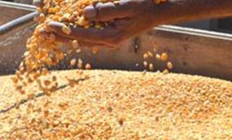 CNA pede subsídios para dobrar a produção de milho no sul do país