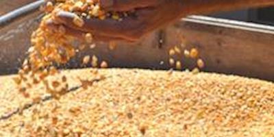 Com proximidade da colheita do milho, preço cai na maior parte das regiões