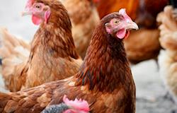 Rabobank sugere atenção do avicultor para custos do milho