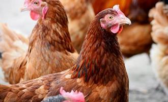 Abatedouro de frangos chefiado por mulheres 'caminha' para vender produção a supermercados de RO
