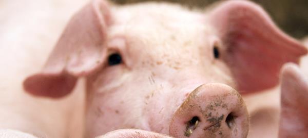 Glutamina ajuda a equilibrar o processo produtivo de animais, afirma especialista