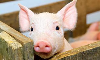 Argentina abre consulta pública para melhorar condições de granjas de suínos