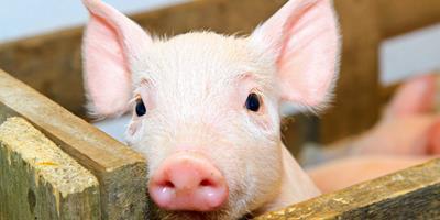 Santa Catarina é o maior produtor e exportador de carne suína do Brasil