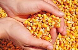 Agroindústrias de SC querem subsídio federal para frete do milho