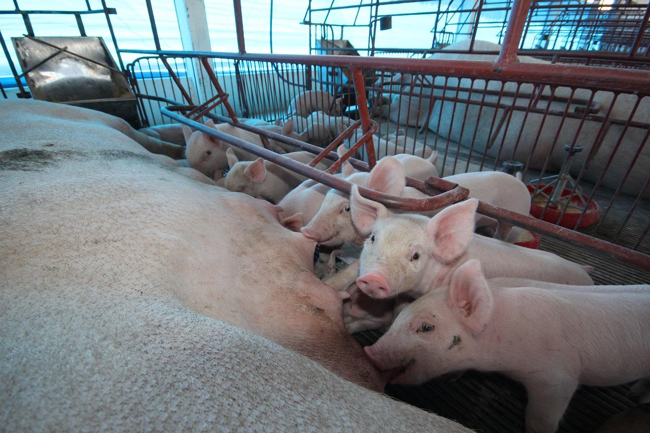 O uso de leveduras vivas na nutrição de matrizes suínas, uma alternativa para incrementar peso de leitegada