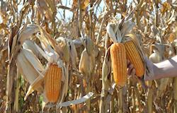 500 mil sacas de milho são barradas para comercialização no tocantins