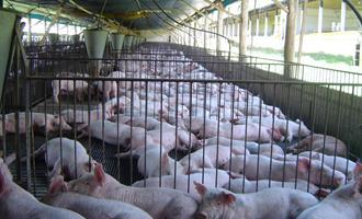 Produção de suínos na China deve crescer 19% em 2021