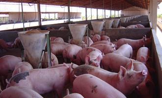 Granjas de suínos para alimentar a China invadem a península mexicana de Yucatán