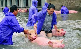 Enchentes na China geram preocupação de novos surtos de PSA