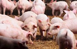Demanda por suínos cresce e preços têm alta nos últimos dias