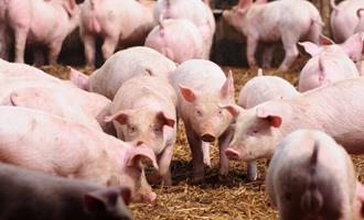 Preços do suíno na China ainda serão 60% maiores em 2021