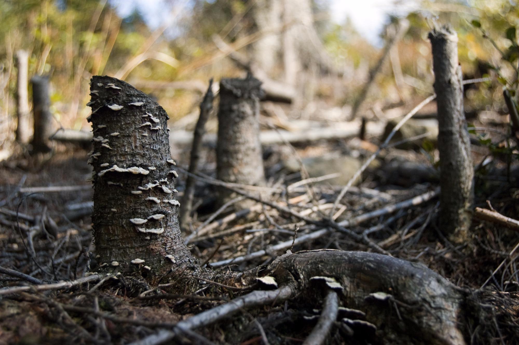 Volta o desmatamento na Amazônia - por Ricardo Ernesto Rose