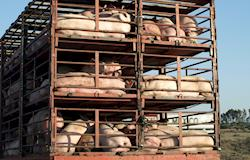 Produtores dizem que animais estão há 50 horas sem comer
